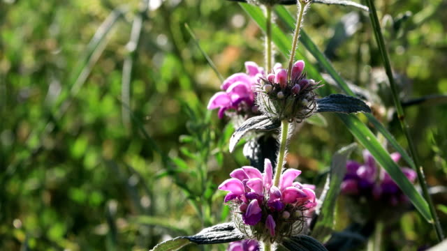 lamium maculatum (also known as spotted dead-nettle, spotted henbit and purple dragon) - nettle stock videos & royalty-free footage