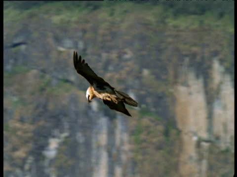 Lammergeier glides over hills, Ethiopia