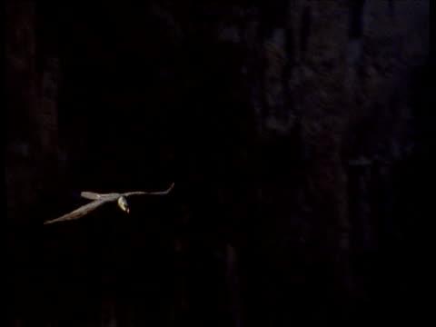 lammergeier soars past camera over gorge - gespreizte flügel stock-videos und b-roll-filmmaterial