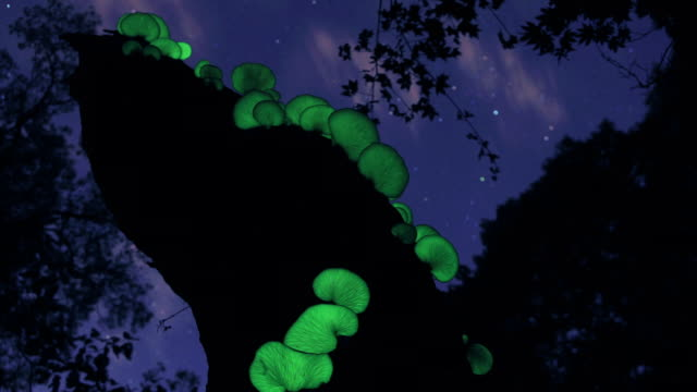 lamteromyces japonicus mushroom glowing in the night - toadstool stock videos and b-roll footage