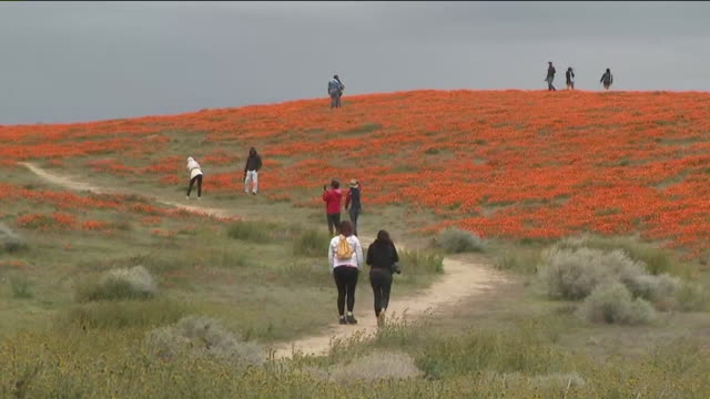 ktla lancaster ca us people walking among poppy flowers at antelope valley poppy reserve on friday april 17 2020 - petal stock videos & royalty-free footage
