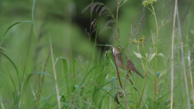 lanceolated warbler (locustella lanceolata) - khingan nature reserve - warbler stock videos & royalty-free footage