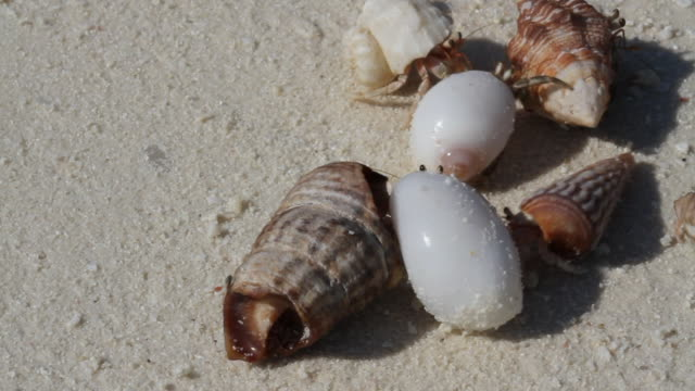 land hermit crabs - hermit crab stock videos & royalty-free footage