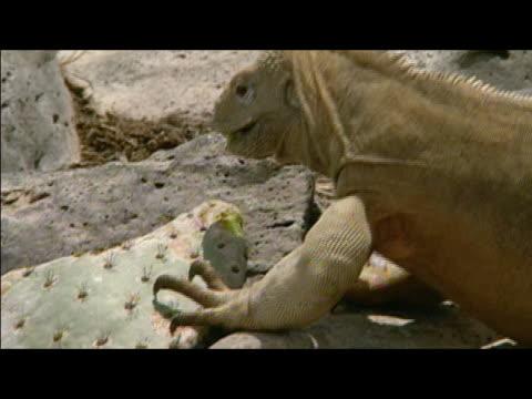 land iguana eating cactus on top of rocks / galapagos islands - galapagos land iguana stock videos & royalty-free footage