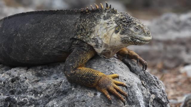land iguana - galapagos land iguana stock videos & royalty-free footage