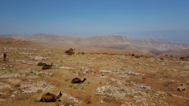 land of the bible - aerial view of camels sitting/ samaria desert - religiöse darstellung stock-videos und b-roll-filmmaterial