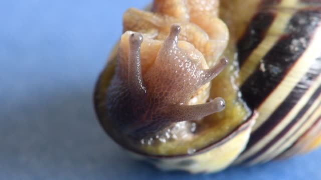 land snail creating an epiphragm and going into its shell. the terrestrial gastropod mollusks uses the structure to hibernate and estivate. also for protection - snail stock videos & royalty-free footage