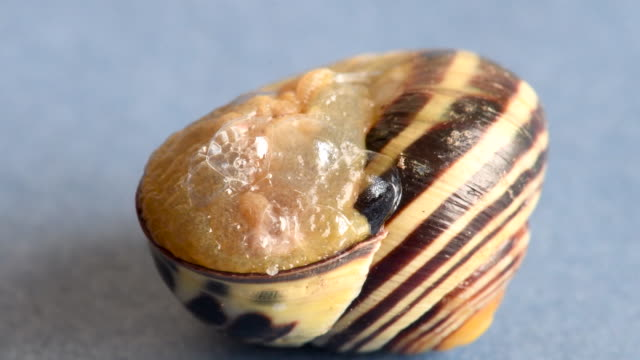 land snail creating an epiphragm and going into its shell. the terrestrial gastropod mollusks uses the structure to hibernate and estivate. also for protection - animal shell stock videos & royalty-free footage