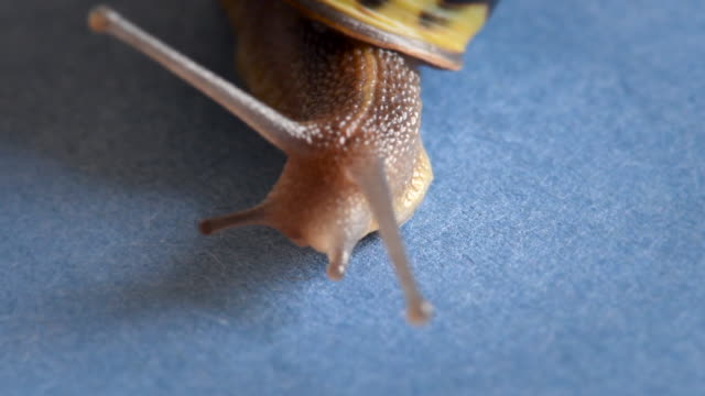 land snail or garden snail crawling. the terrestrial gastropod mollusk has a yellow and brown shell - mollusk stock videos & royalty-free footage