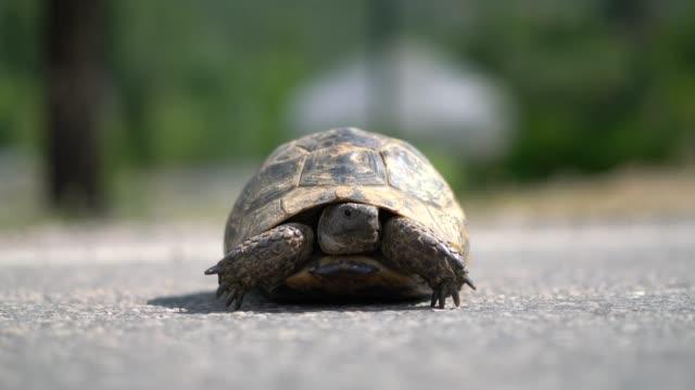 vidéos et rushes de tortue terrestre (tortue) - tortue aquatique
