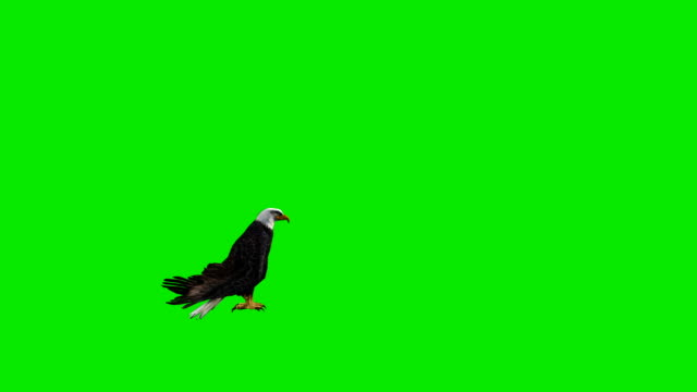 landing eagle green screen (loopable) - plain background stock videos & royalty-free footage