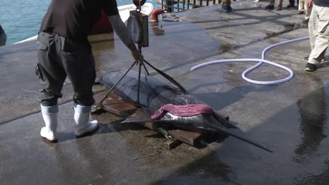 landing swordfish or marlin in yonaguni is, okinawa, japan - スポーツ用語点の映像素材/bロール