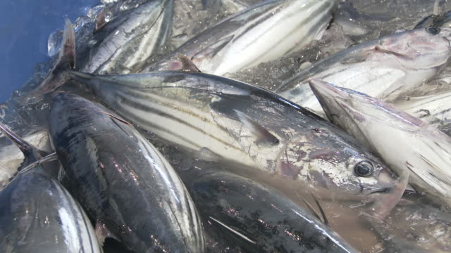landing the skipjack tuna - crushed ice stock videos & royalty-free footage