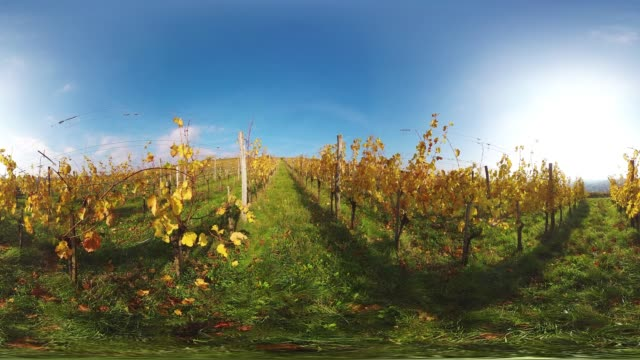 360VR landscape 4K video autumn in vineyard