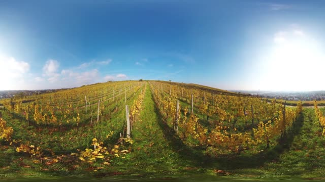 360VR landscape 4K video sunny autumn day in vineyard