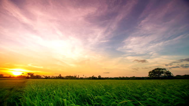 Landscape of a beautiful green field with rice