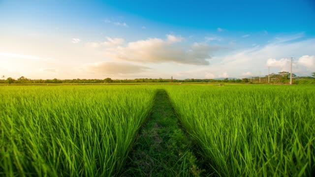 4 K : Landschaft des eine schöne grüne Feld mit Reis