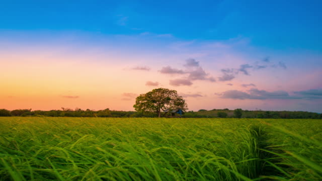 4K : Landscape of a beautiful green field with rice
