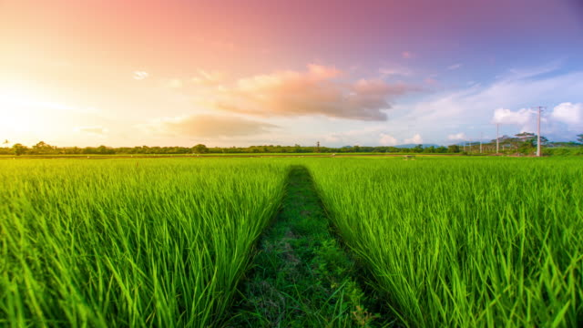 4k : landscape of a beautiful green field with rice - paddy field stock videos & royalty-free footage