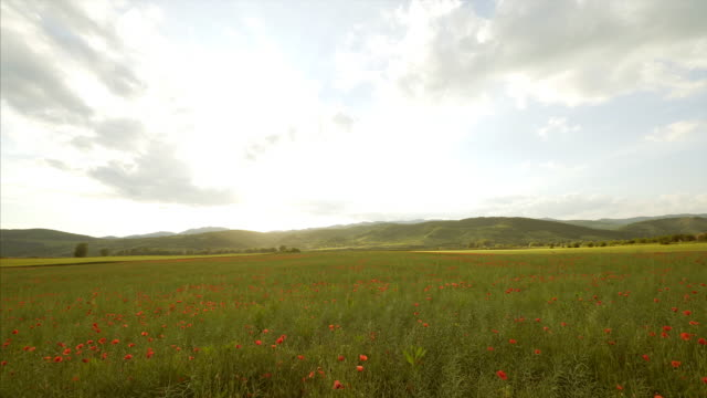 Landscape of a field full of poppies.