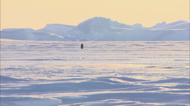 landscape of antartic and male emperor penguin walking alone and falling down - male animal stock videos & royalty-free footage