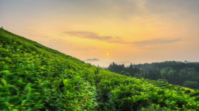 landscape of boseong green tea field in jeollanam-do, south korea at sunrise - jeollanam do stock videos & royalty-free footage