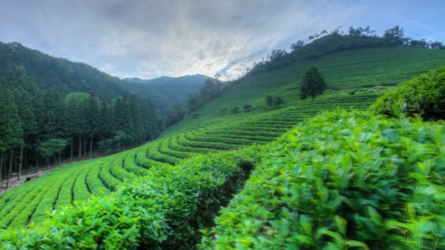 vidéos et rushes de landscape of boseong green tea field in jeollanam-do, south korea - thé boisson chaude