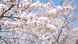 landscape of cherry blossom