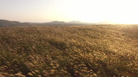 vídeos de stock, filmes e b-roll de landscape of field of reeds in jeju oreum (famous rising small defunct volcano) - caniço