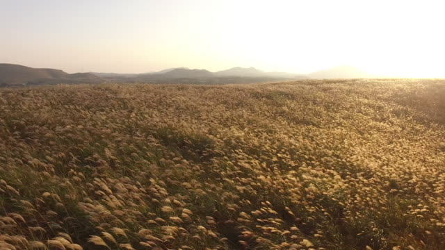 Landscape of field of reeds in Jeju Oreum (famous rising small defunct volcano)
