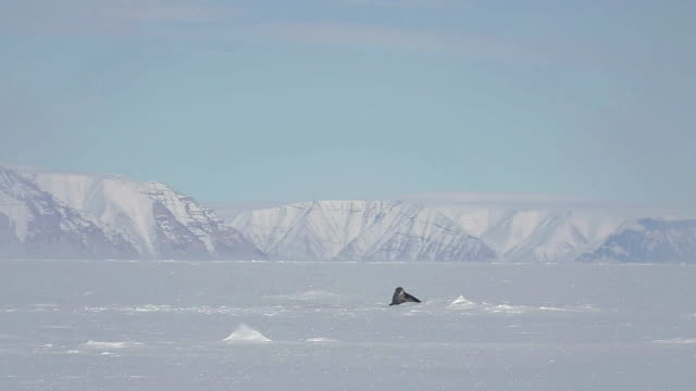 landscape of glacier and seal in churchill, canada - ice sheet stock videos & royalty-free footage