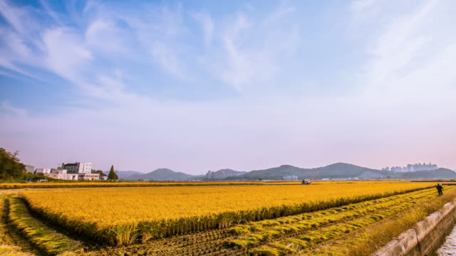landscape of golden colored rice field and a tractor in siheung, south korea - rice paddy stock videos and b-roll footage