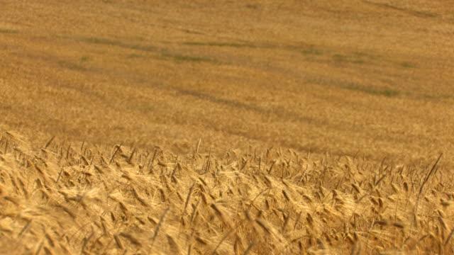 hd landscape of golden wheat field - hd 25 fps stock videos & royalty-free footage