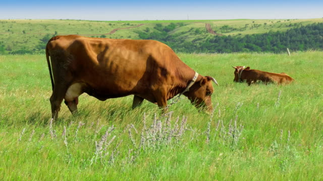 landscape of green meadow with cows - fly swat stock videos & royalty-free footage