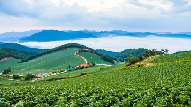 ws t/l landscape of highland chinese cabbage field in anbandeok village with cloudy sky / gangneung, gangwon do, south korea - crucifers stock videos and b-roll footage