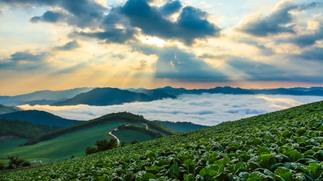 ws t/l landscape of highland chinese cabbage field with cloud sea in anbandeok village at sunrise / gangneung, gangwon do, south korea - crucifers stock videos and b-roll footage