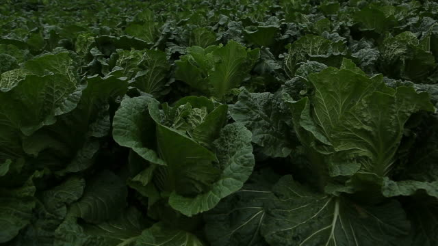 MS TU Landscape of Highland Chinese Cabbage Field with fog over / Donghae, Gangwon-do, South Korea
