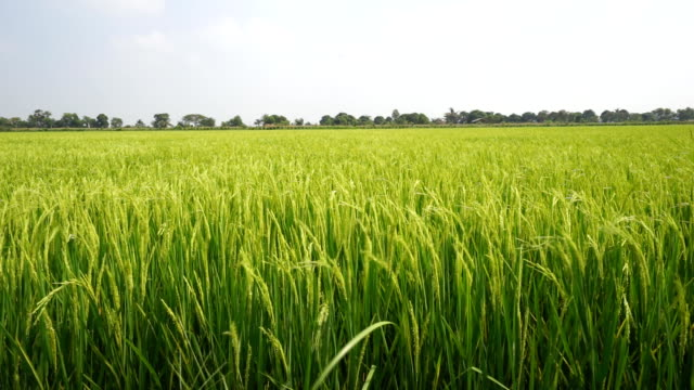 タイの稲作農家の風景: クレーンショット - 熱帯の低木点の映像素材/bロール