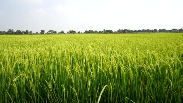 landscape of rice farm in thailand : crane shot - paddy field stock videos & royalty-free footage