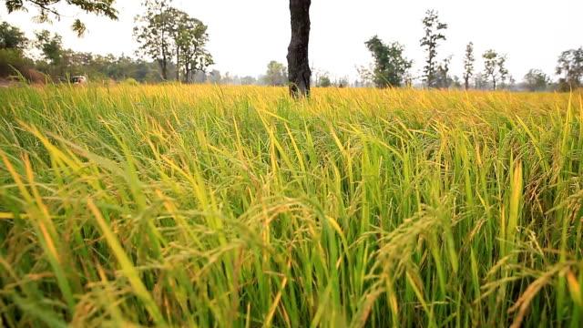 Landschaft von Reis Bauernhof in Thailand.