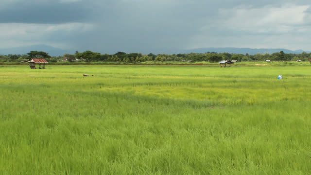 landscape of rice field and wind - staple stock videos & royalty-free footage