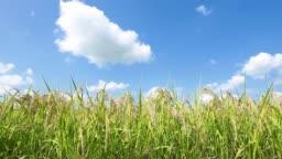 landscape of rice growing in field