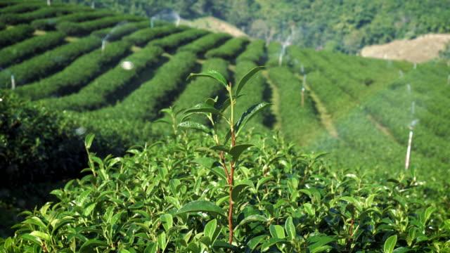 タイでメー ・ サローンの茶畑の風景です。 - アイスティー点の映像素材/bロール