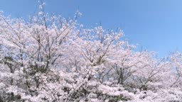 landscape of the cherry blossom
