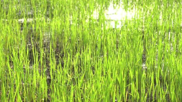 stockvideo's en b-roll-footage met landschap van tropische groen paddy rijst boerderij - volkorentarwe
