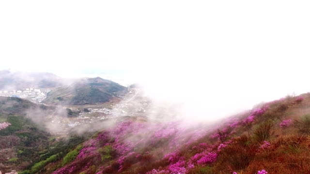 landscape of yeongchwisan mountain with azalea and cloud sea in spring - heidekraut stock-videos und b-roll-filmmaterial