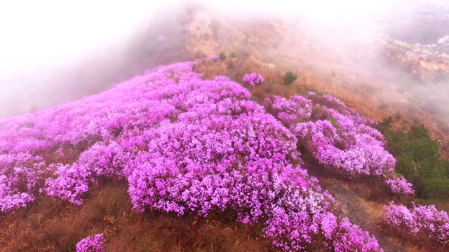 Landscape of Yeongchwisan mountain with Azalea and cloud sea in spring
