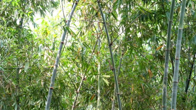 vidéos et rushes de plante de paysage de l'arbre de bambou dans la forêt tropicale humide - bamboo plant