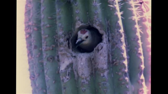vídeos y material grabado en eventos de stock de landscape saguaro cacti shrubs cu small hole in cactus w/ gila woodpecker inside cu nest on columnar branches w/ hawk babies eyas vs woodpecker... - cactus saguaro