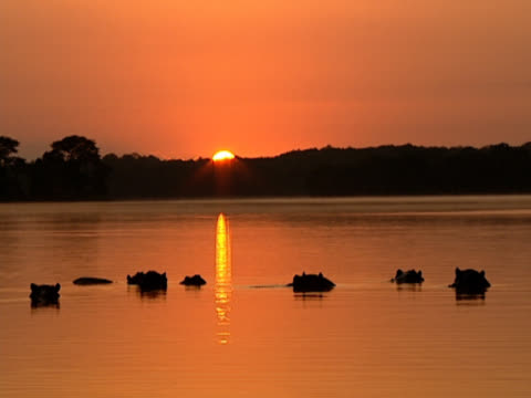 Landscape shot of an expansive river. While the silhouetted bumps of submerged Hippopotamuses (Hippopotamus amphibious) bob in the foreground, the sun sets behind the treeline on the far bank. Shot on the Pongola River, KwaZulu Natal, South Africa.